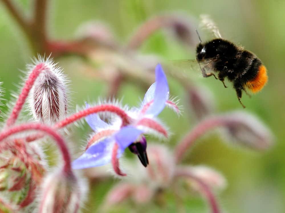 زراعة الأزهار البرية قد تُنقد النحل الطنان من خطر الانقراض
