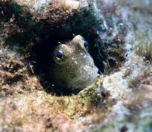 بسبب معاناتها من الافتراس في البحر، تفضل هذه الأسماك العيش على الأرض