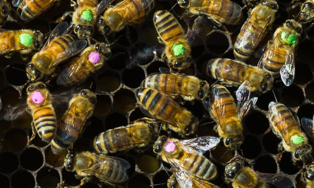 حتى حشرات النحل تتأذى من الإفراط في استخدام المضادات الحيوية