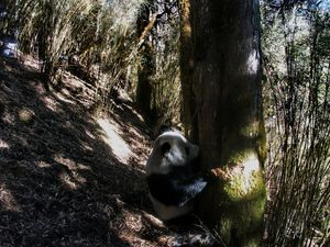 ما هي المساحة التي تحتاجها الباندا لتحافظ على بقائها