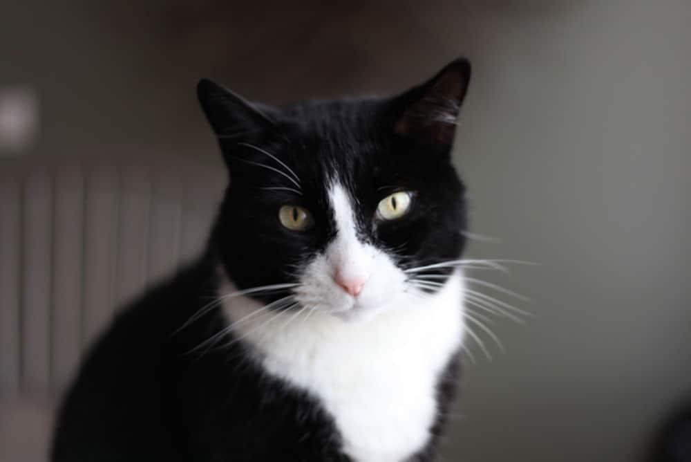 لماذا تبدو بعض القطط وكأنها ترتدي بدلة التوكسيدو؟