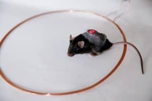 بعد تجربة أولية على الفئران: علاج جديد للسكري باستخدام خلايا معدلة جينياً وهاتف ذكي!