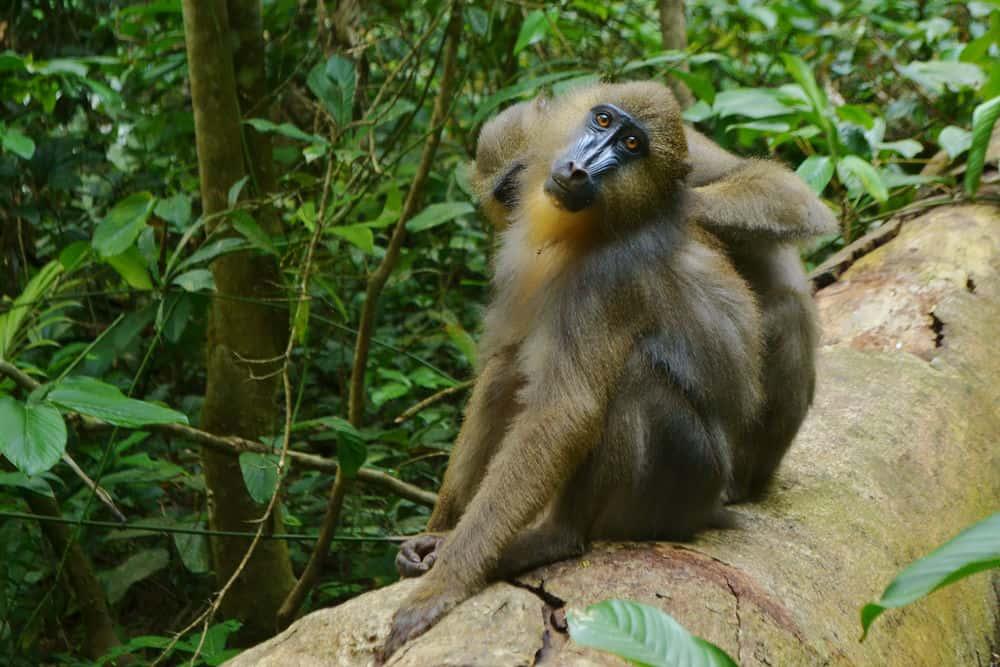 هذه القرود تستخدم أنفها لاكتشاف مرض رفاقها