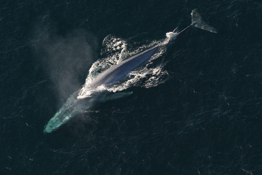 الحيتان اليوم هي أكبر من أي وقت مضى، وهذا هو السبب