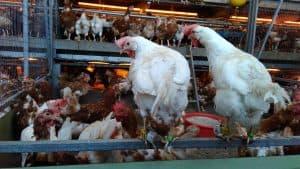 العلماء يتتبعون حركة الدجاج ويكتشفون أن لها برنامجاً يومياً، كالبشر تماماً