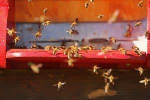 لماذا يشارك النحل في مباريات البيسبول؟