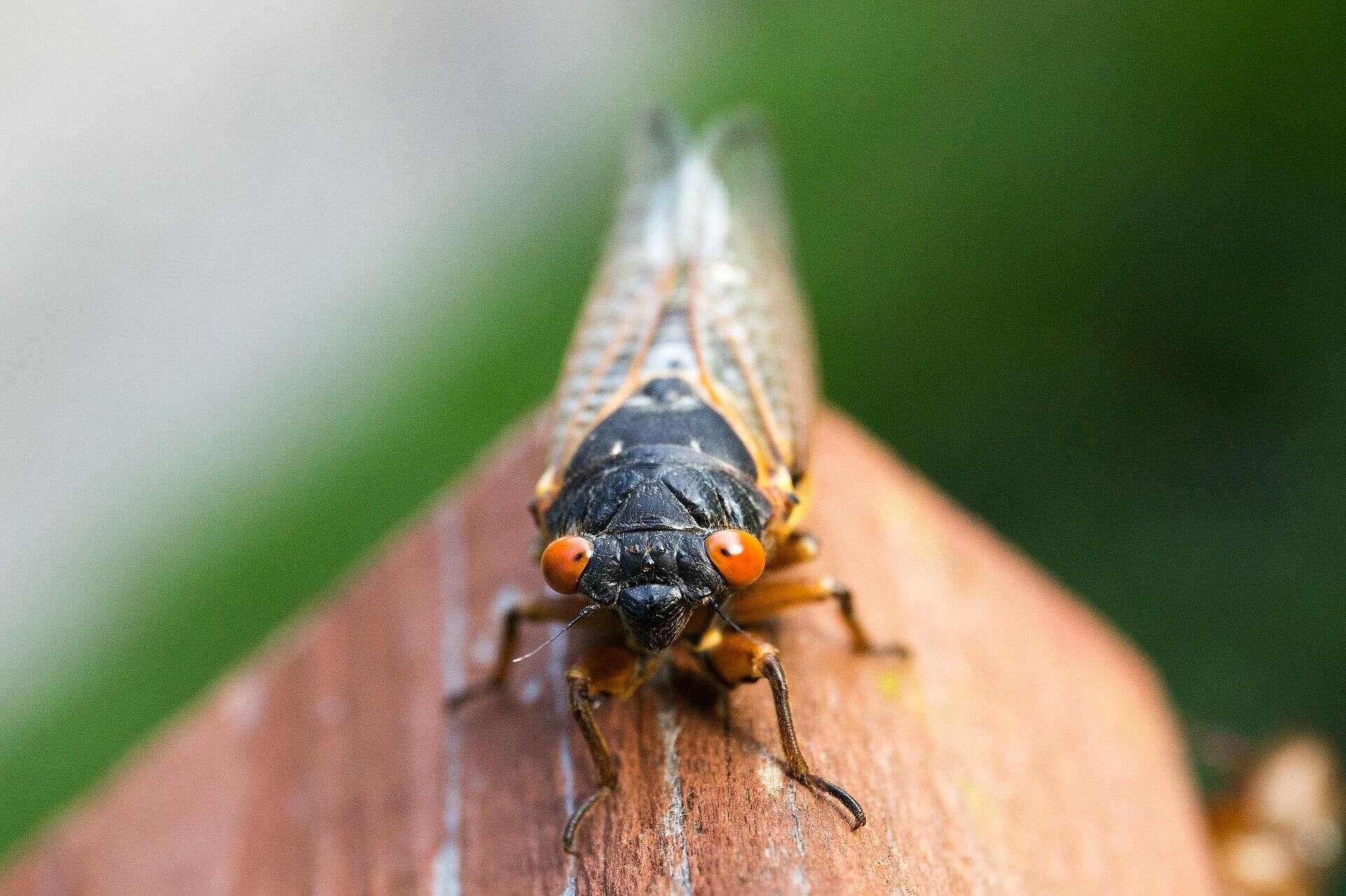 لماذا تظهر حشرات زيز الحصاد في حديقتك قبل أربع سنوات من موعد ظهورها