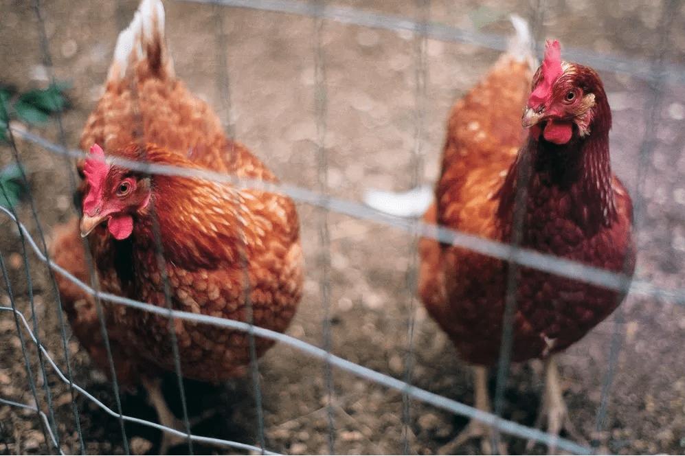هل ساهمت الطقوس الدينية في العصور الوسطى في تغيير شكل الدجاج؟