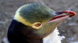 البطريق أصفر العينين النيوزيلندي في طريقه نحو الانقراض