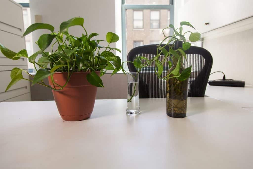 كيف تحصل على اثنتين من هذه النباتات الشائعة في المكتب؟