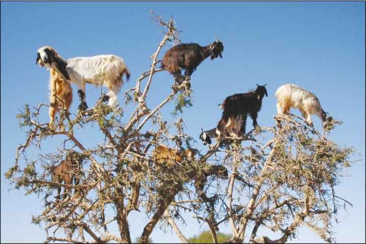 لدى هذا الماعز طريقة خاصة في نشر البذور