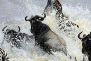 النظام البيئي لهذا النهر يعتمد على الآلاف من حيوانات التيتل الأفريقية الغارقة والمتفسخة