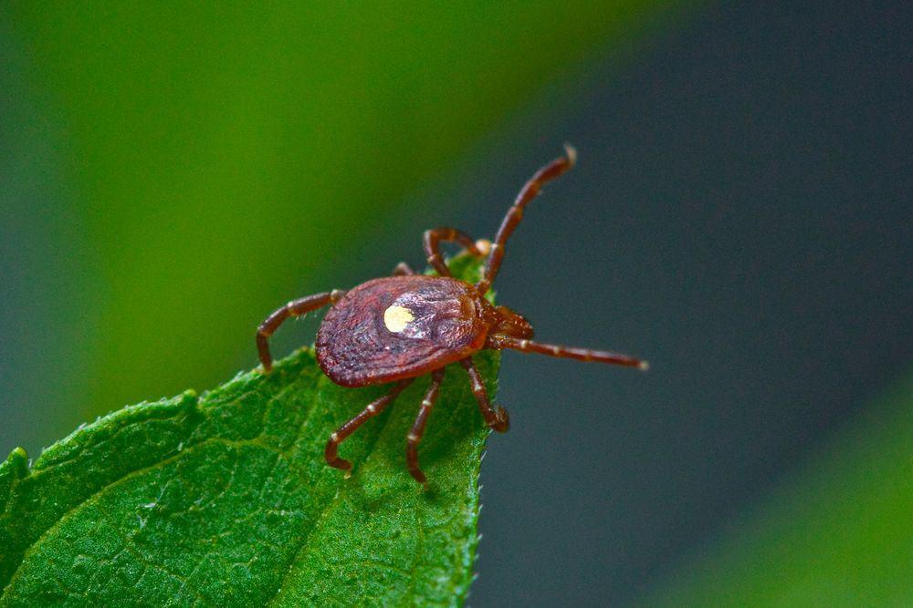 لدغة واحدة من هذه الحشرة كفيلة بأن تصيبك بالحساسية تجاه اللحوم الحمراء طيلة حياتك