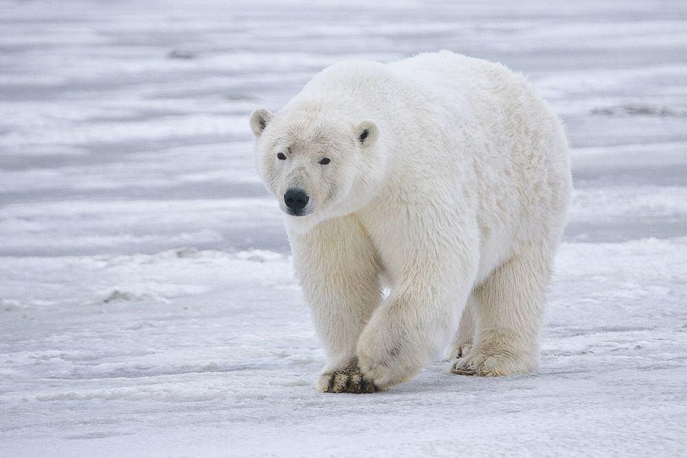 مستويات الزئبق السام تنخفض عند الدببة القطبية في ألاسكا، ماذا يعني ذلك؟