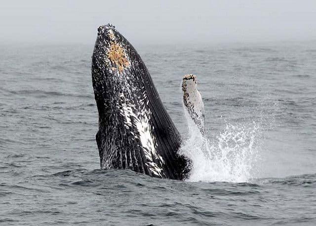 لماذا عادت الحيتان للظهور في نيويورك؟