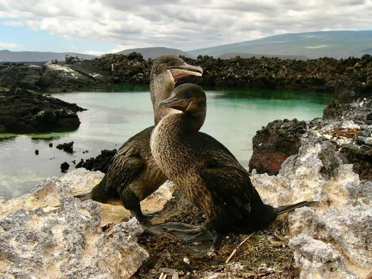 كيف فقد طائر الغاق الذي يعيش في جزر غالاباغوس قدرته على الطيران؟