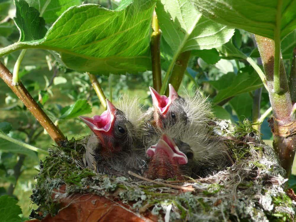 غناء الطيور قد يكون منشؤه في جيناتها