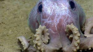 هذه الأخطبوطات الجميلة يمكن التمييز بينها من خلال النتوءات على جسمها