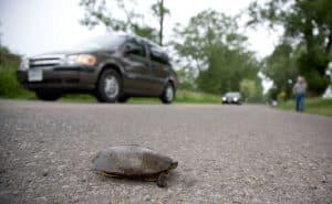كيف استطاع الأهالي حماية السلاحف من أن تكون ضحية لحوادث الطرق