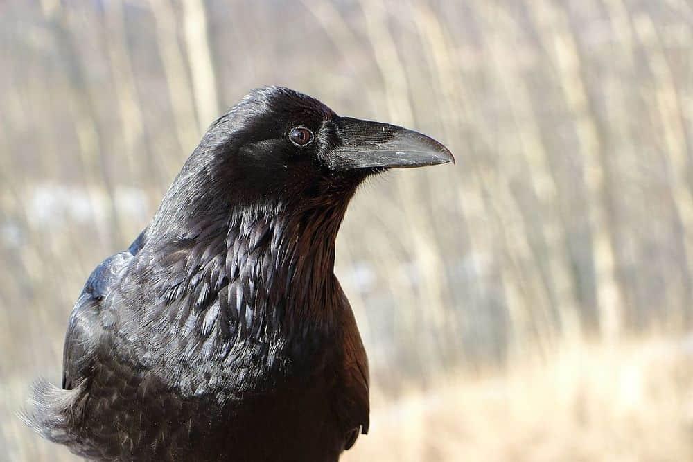 دراسة جديدة تكشف أن الغربان ذكية جداً