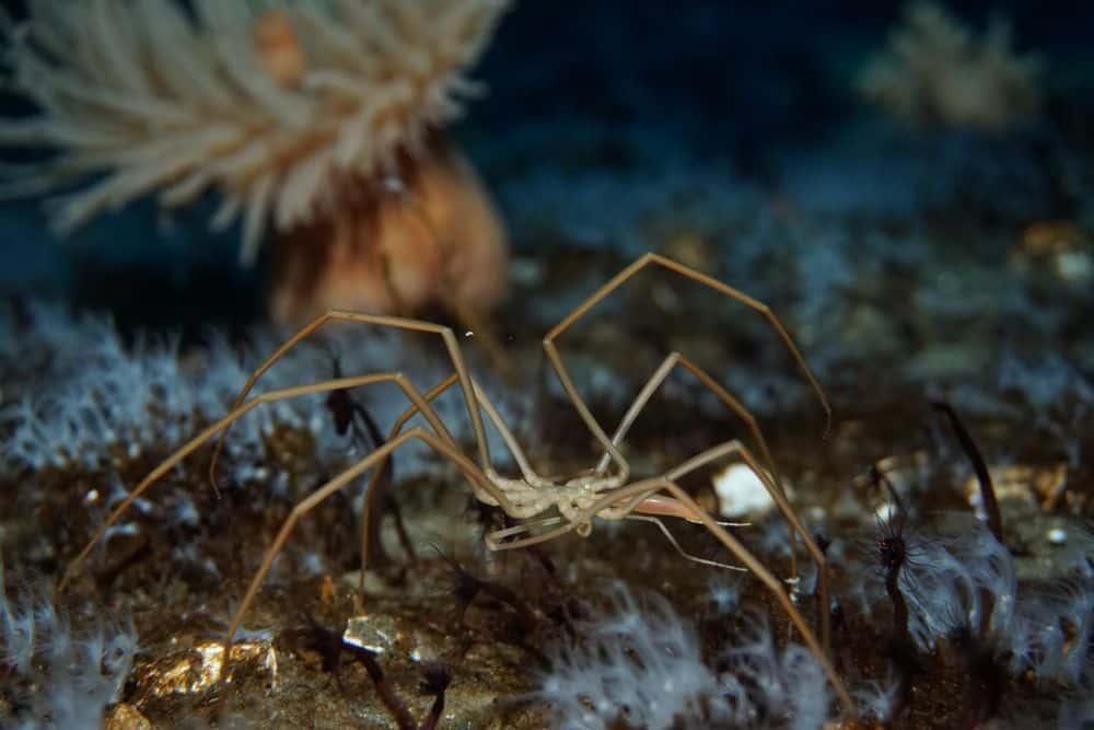عناكب البحر تستخدم جهازها الهضمي في ضخ الأوكسجين إلى أجسامها الصغيرة الغريبة