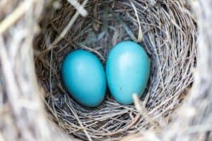 قدرة الطيور على الطيران قد تحدد شكل بيوضها