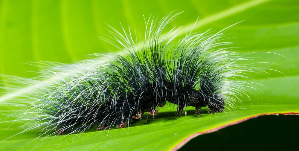 النباتات تملك حيلة تقود حشرات اليسروع الجائعة إلى أكل لحوم بعضها