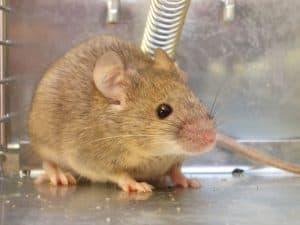 كيف تتخلص من الفئران؟