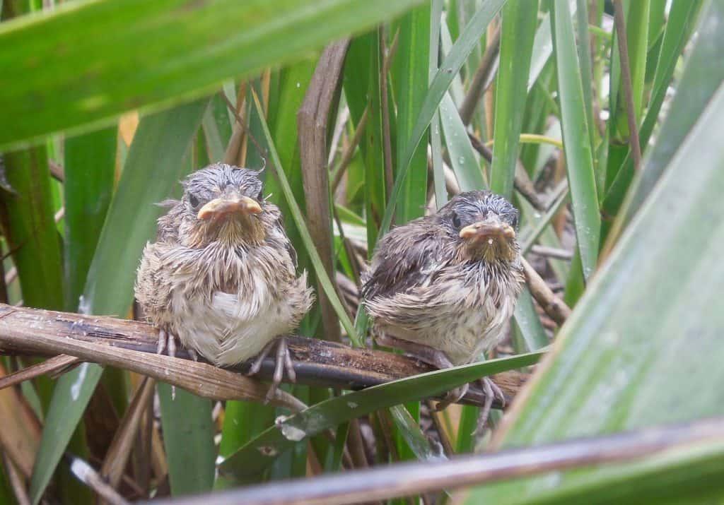 هذه الطيور محاصرة بين مفترسيها والمستويات المرتفعة لسطح البحر