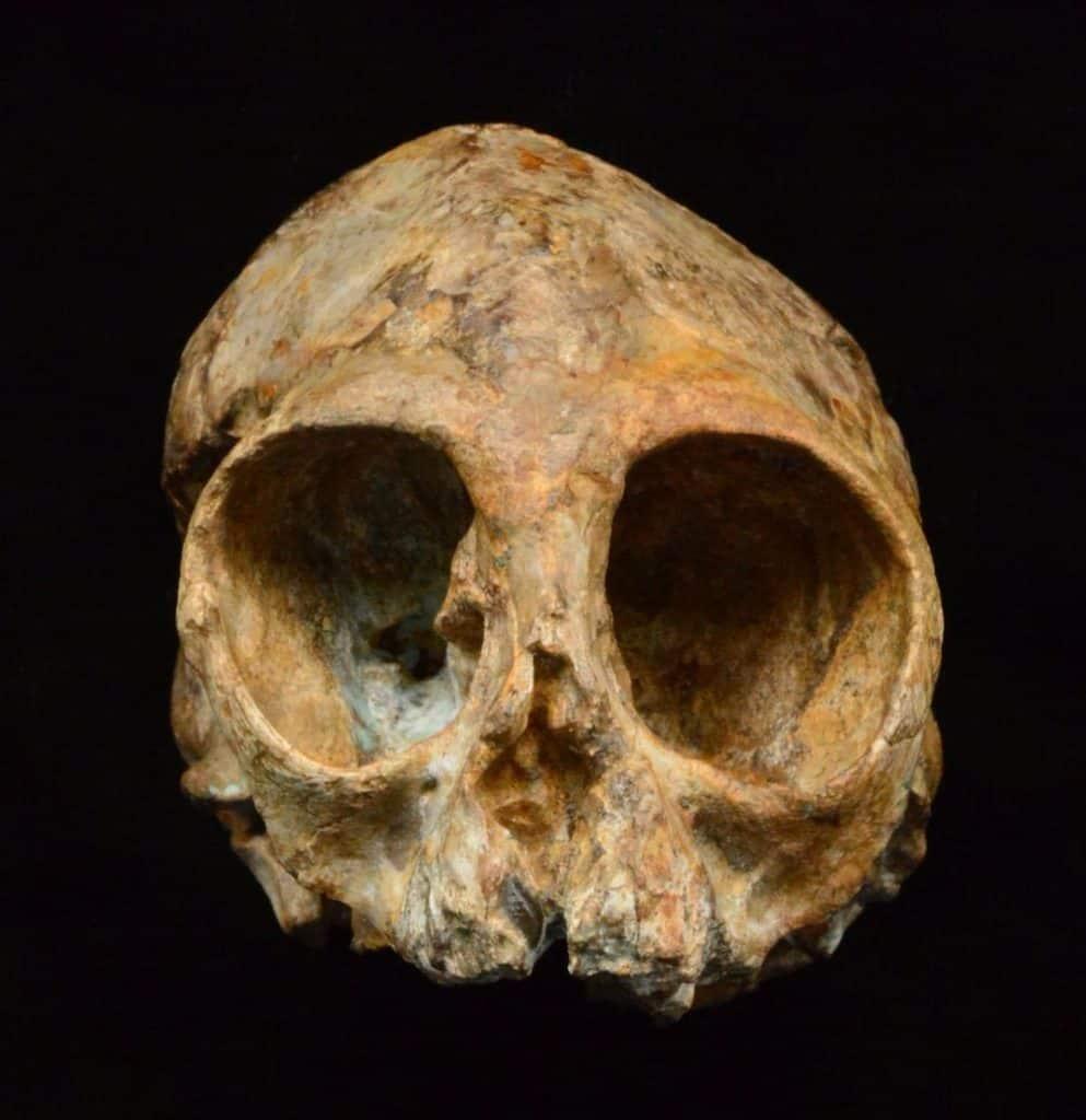 جمجمة عمرها 13 مليون عام قد تظهر لنا الشكل الذي كان يبدو عليه أسلافنا
