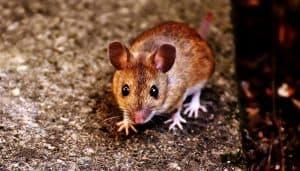 العلماء يعرفون كيف يثيرون غضب الفئران، ولكن الفئران تعرف كيف تحافظ على هدوئها