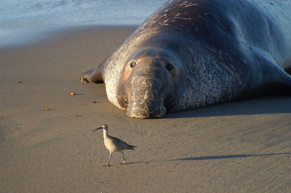 فيل البحر يكره القتال مثل الإنسان ويعتمد على الأصوات الإيقاعية في الدفاع