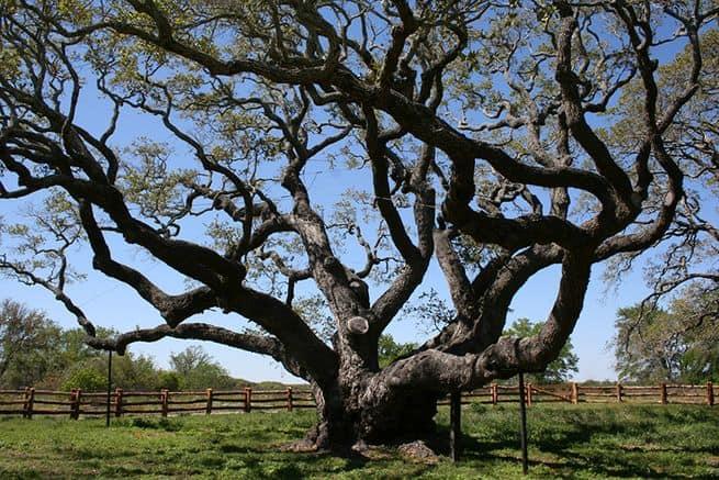 شجرة سنديان بعمر ألف سنة تنجو من إعصار هارفي