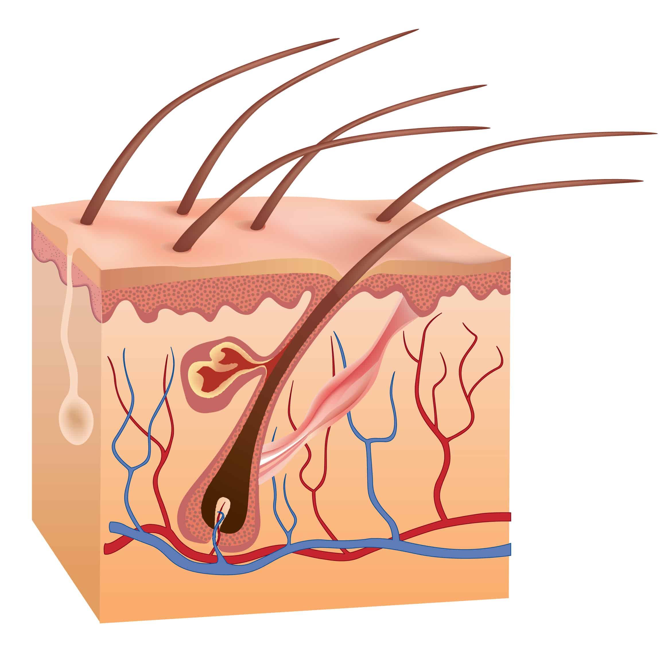 لماذا ينمو الشعر والأظافر؟