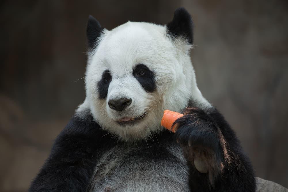 الباندا لم تعد مهددة بالانقراض، لكن مشكلاتها لم تنته بعد