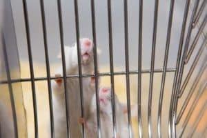 العناية بفئران التجارب ضرورية من أجل البحث العلمي