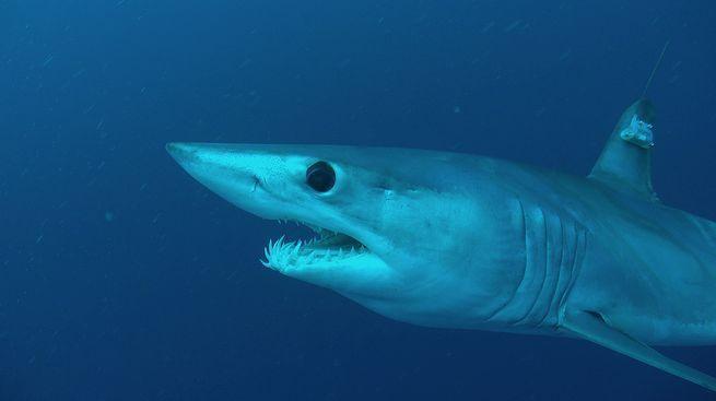 أسرع أسماك القرش في العالم يتعرض لمحنة حقيقية