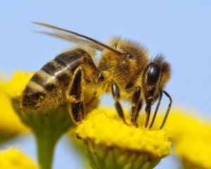 إذا أردت مساعدة النحل، لا تستخدم المبيدات