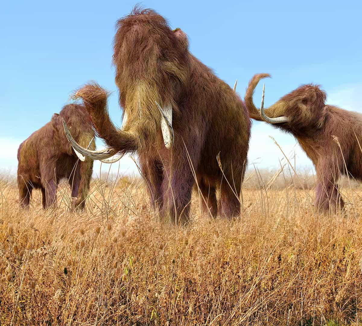 ذكور فيل الماموث الصوفي كانت تتنقل بسرعة وتموت في سن مبكرة