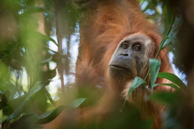 اكتشاف نوع جديد من إنسان الغاب، ولكنه في مأزق كبير