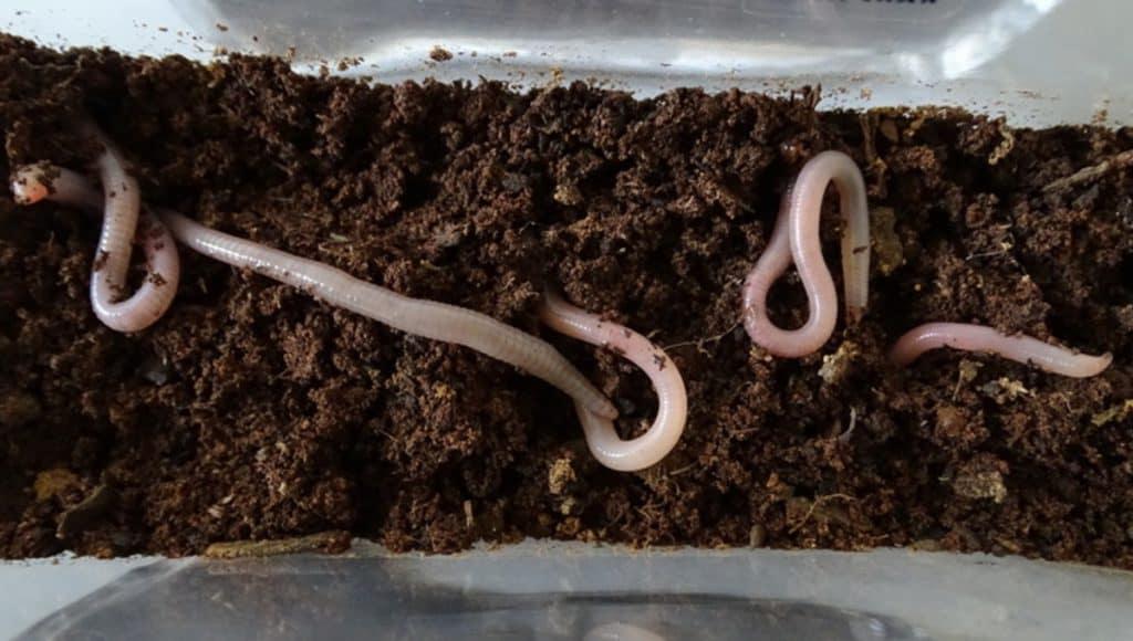 الديدان الأرضية تنمو في تربة المريخ