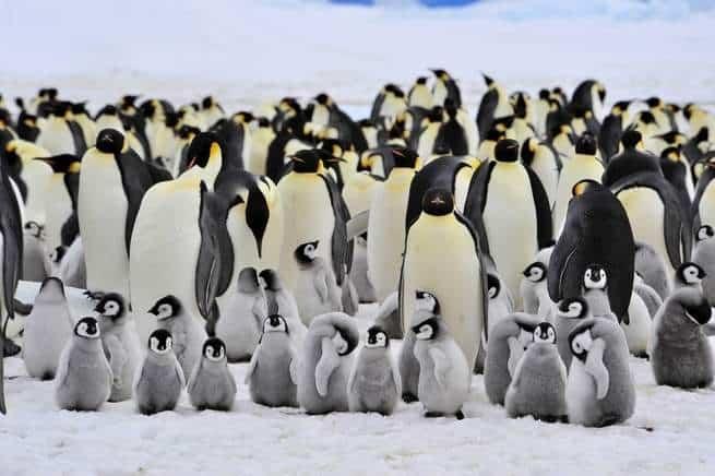 معظم ذكور البطريق الإمبراطور تصوم لمدة 115 يوماً
