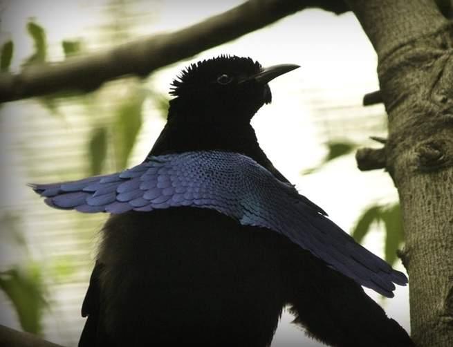ما سر هذا الطائر شديد السواد الذي لا تستطيع عيناك التركيز فيه؟