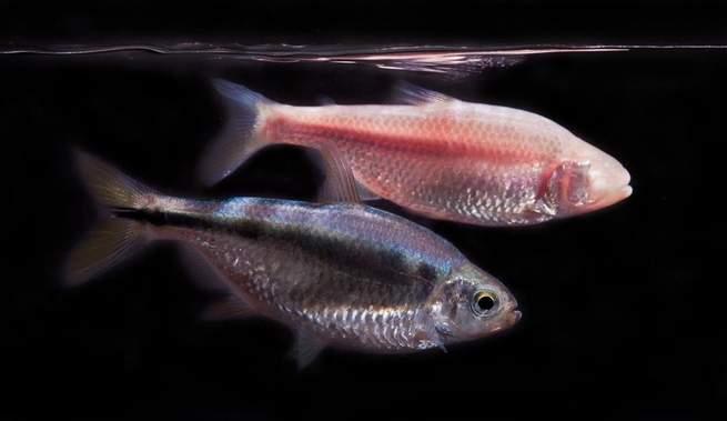 سمكة بالكاد تنام قد تجعل البشر من الحيوانات الليلية