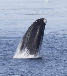 رحلة قصيرة إلى مجتمع الحيتان في نصف الكرة الأرضية الجنوبي