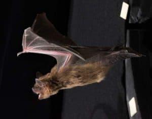 تحديد المواقع بالصدى عند الخفاش قد يساعد في فهم اضطراب نقص الانتباه وفرط الحركة