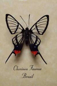 الأجنحة الشفافة لهذه الفراشة يمكنها أن تنقذ رؤية الناس يوماً ما