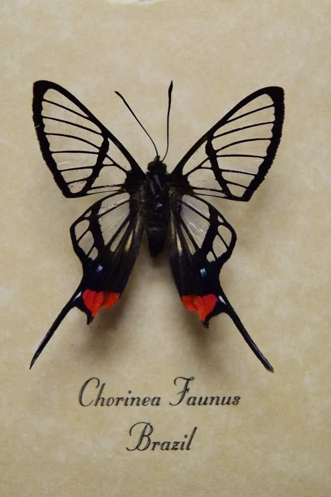 ce79221b0 الأجنحة الشفافة لهذه الفراشة يمكنها أن تنقذ رؤية الناس يوماً ما ...