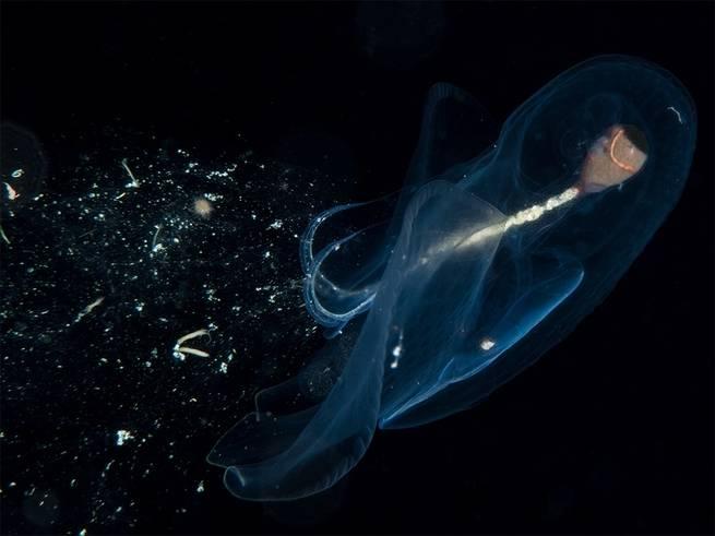 هذه المخلوقات البحرية تقوم بتكوين شبكات مخاطية عظيمة للحصول على طعامه