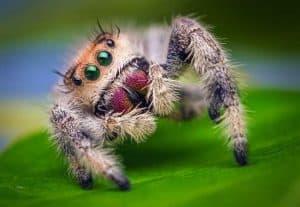 العلماء يعلّمون إحدى العناكب القفز حتى يتمكنوا يوماً ما من فعل الشيء ذاته مع الروبوتات